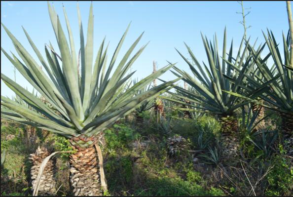 Sisal Farm Plants