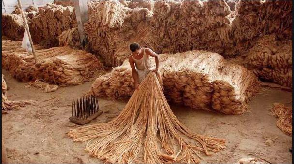 India and Bangladesh Man Processing Dried Jute Fibers
